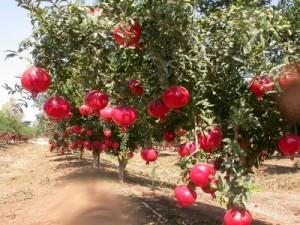 kebun buah delima